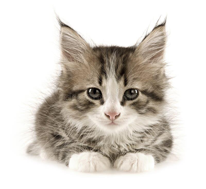 Free Kitten Royalty Free Stock Photo - 6277275