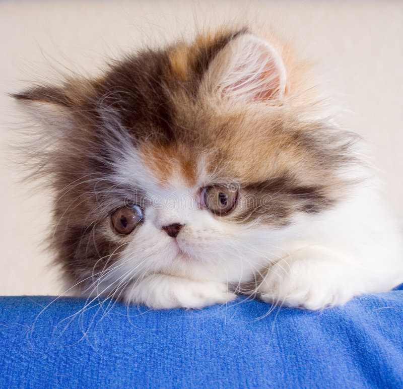 Download Kitten stock photo. Image of adorable, lace, calico, baby - 648022