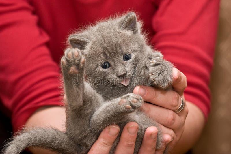 Download Kitten stock photo. Image of kitten, whisker, fanny, gray - 6884652