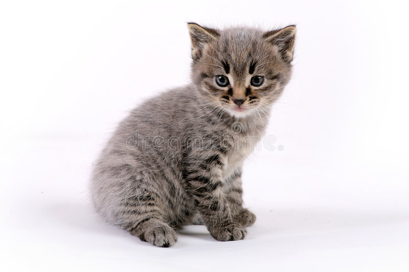 Download Kitten stock photo. Image of baby, studio, young, furry - 7699542