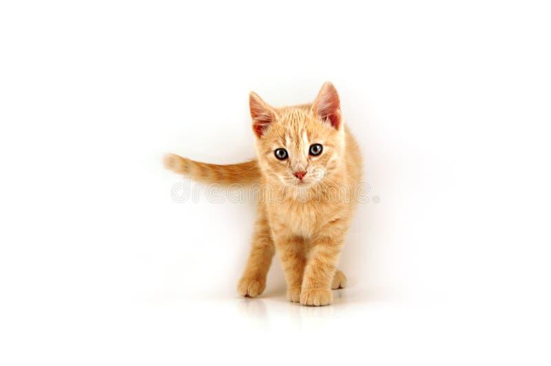 Kitten-01 imagem de stock