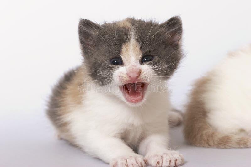 Kitten royalty free stock photography