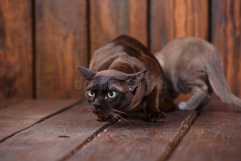 Kitten and adult cat breed European Burmese, father and son sitting on wooden background. Grey and brown, color. Kitten and adult cat breed European Burmese royalty free stock image
