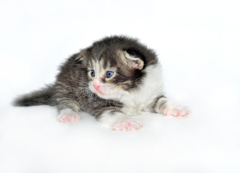 Kitten at the age of 2 weeks royalty free stock image