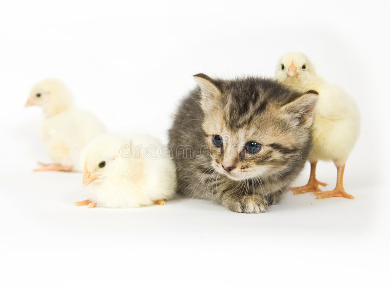 Download Kitten and baby chick stock photo. Image of nature, eyes - 2768458
