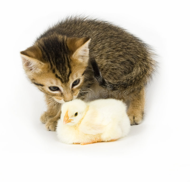 Kitten and baby chick. A kitten licks a baby chick on white background. Both are being raised on a farm in Illinois stock photo