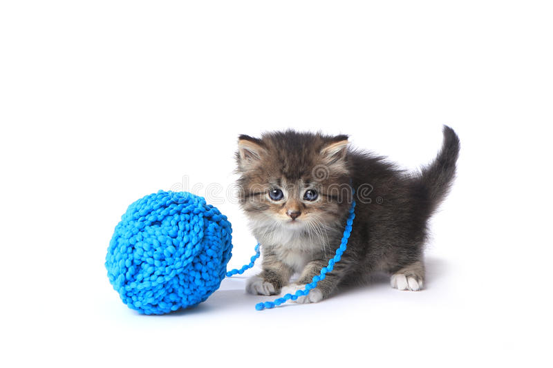 Kitten With Ball of Yarn in Studio royalty free stock image