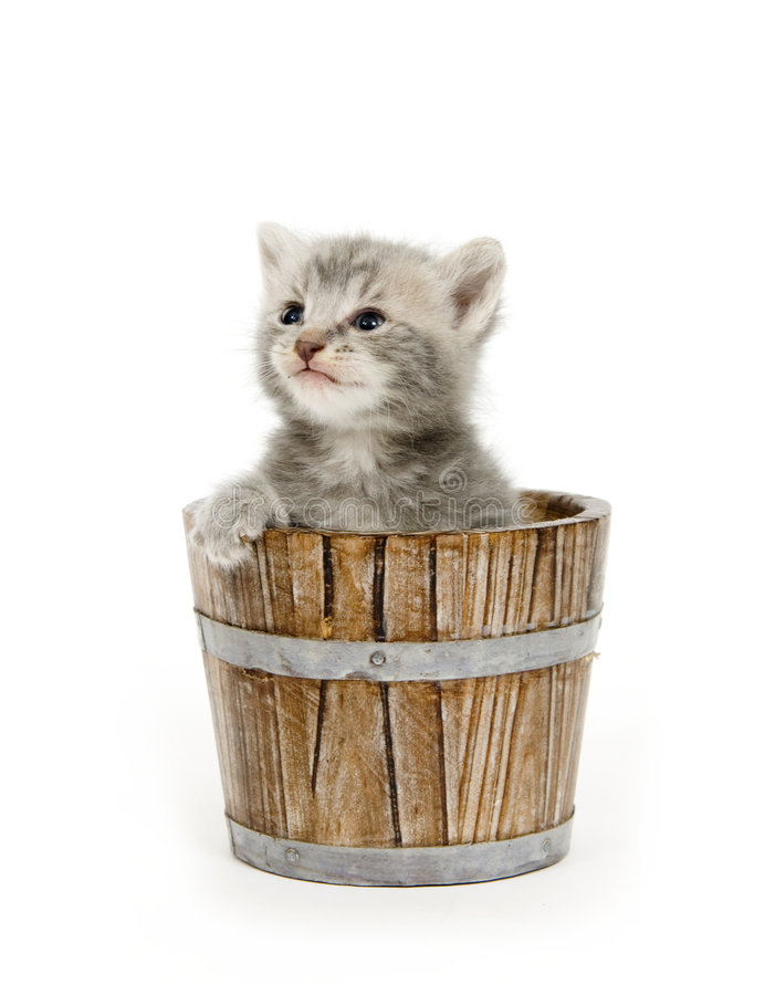 Kitten in a barrel royalty free stock image