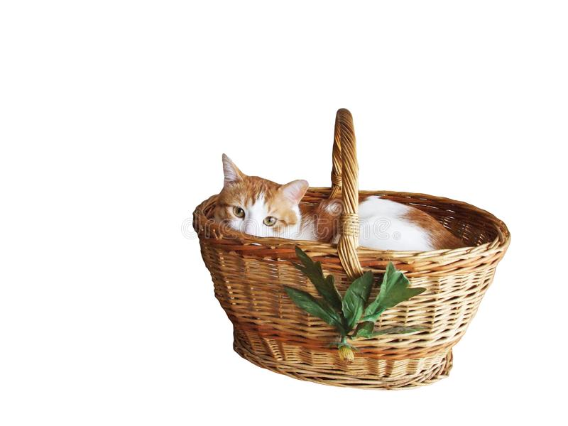 A kitten in a basket of braided straw. A cute cat in a basket of braided straw isolated on white background stock image