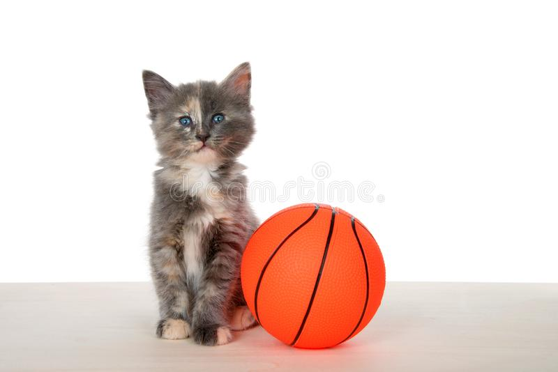 Kitten with basketball on wood floor stock images