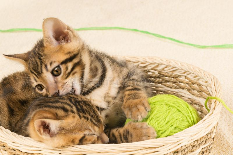 The kitten bites another kitten, sitting in the royalty free stock images