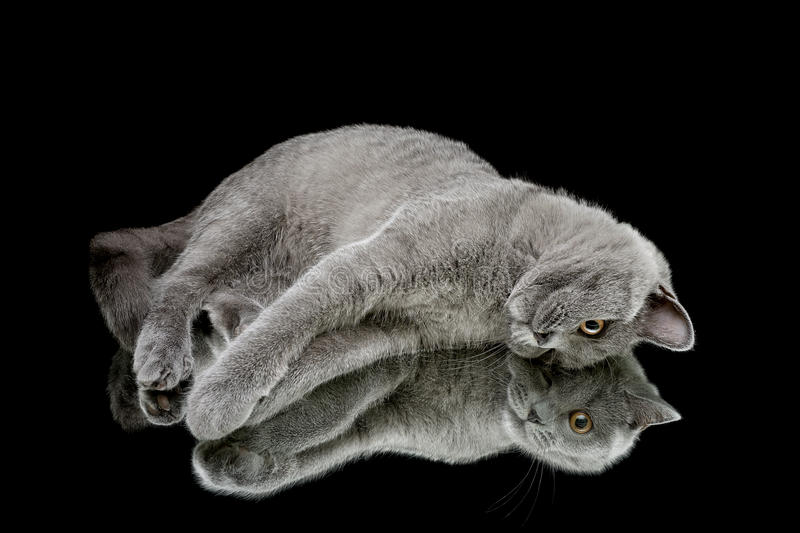 Download Kitten On A Black Background With Mirror Reflection Stock Photo - Image of mirror, horizontally: 39513772
