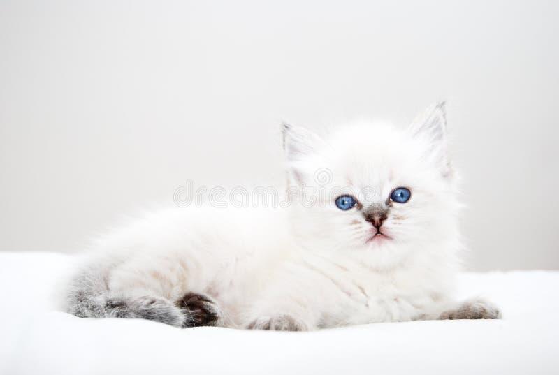 Kitten with blue eyes stock photos