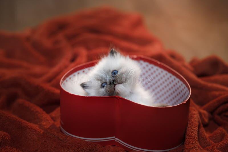 Kitten in a box in the heart. Festive pet. 14 February stock photo