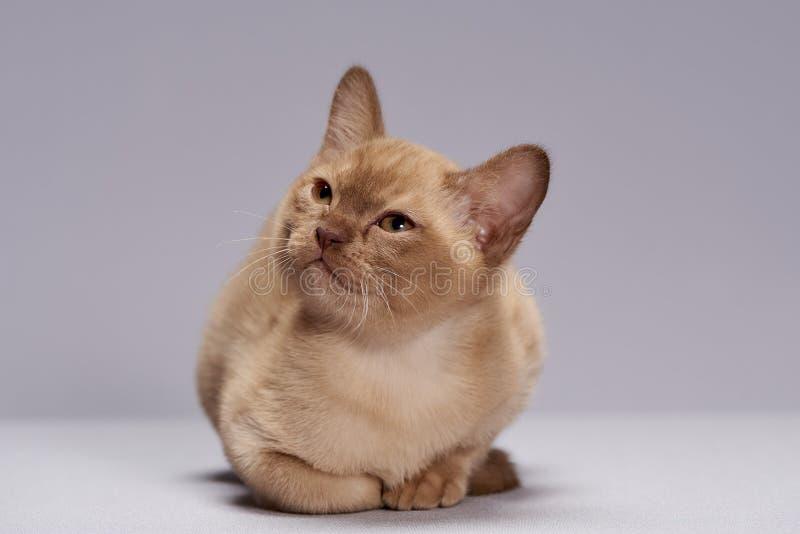 Kitten breed Burma. Fluffy cute kitten breed Burma on a light background royalty free stock photography