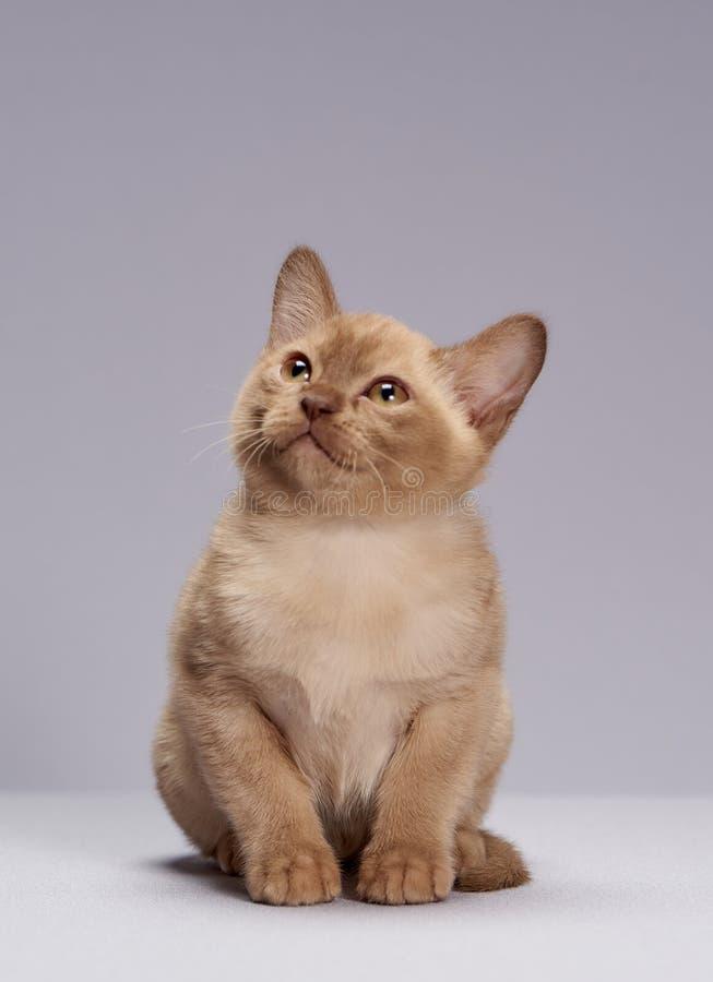 Kitten breed Burma on a light background. Fluffy cute kitten breed Burma on a light background royalty free stock photos