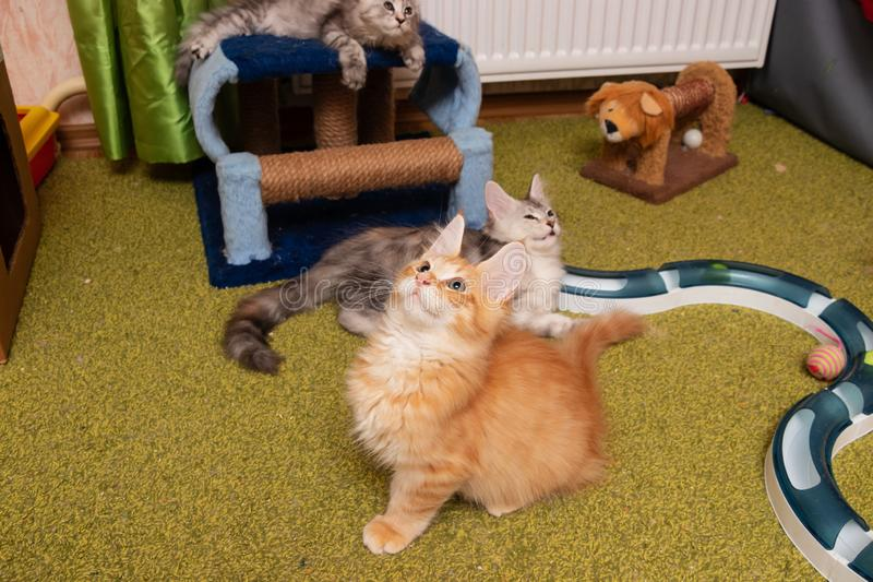 Kitten breed Maine Coon looks up. Kennel beautiful pedigree kittens for sale Maine Coon stock photography