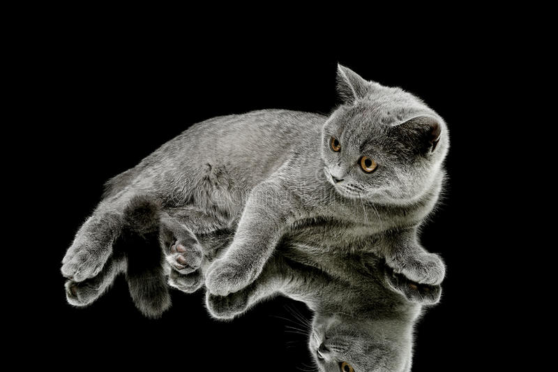 Download Kitten (breed Scottish Straight) On Black Background Stock Image - Image of playful, cute: 39503251