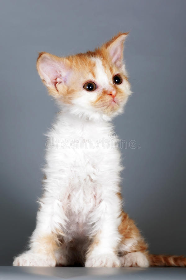 Kitten of breed Selkirk Rex red-white color on gray background i. N the Studio cute pet for family and children stock image