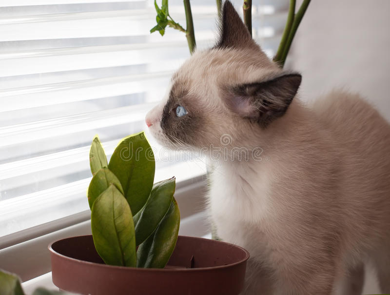 Download Kitten Breed Snowshoe, Two Monthes, Sniff Plant Stock Photo - Image: 34307470