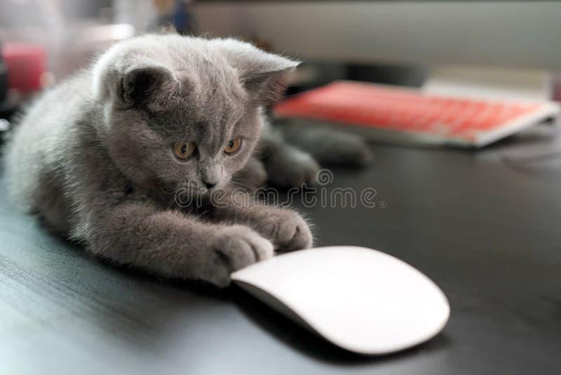 Kitten British Shorthair, som tittar på en mus på affärsplats med dator, trådlös mus på träets mörka bakgrund arkivfoto