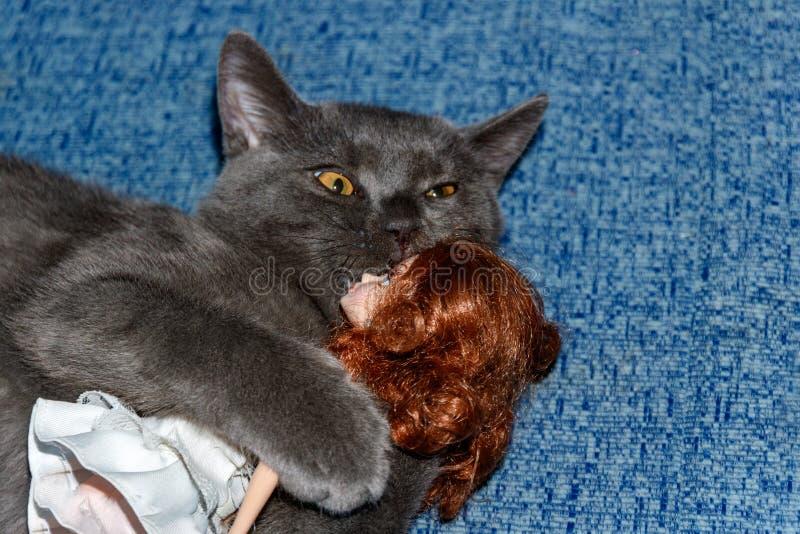 Kitten British-Zucht, die mit einem Puppenmädchen auf einer blauen Couch spielt Lustiges Katzengesicht stockfoto