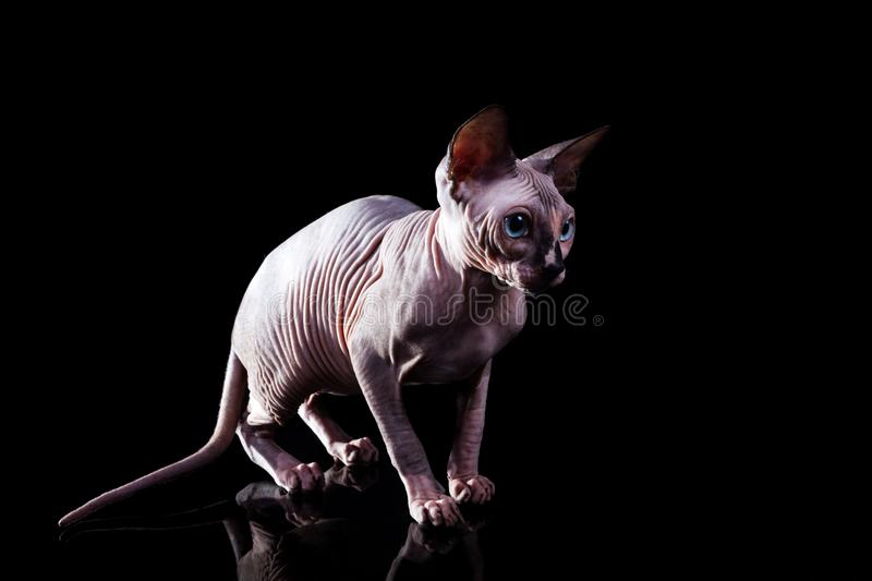 The kitten The Canadian Sphynx on a dark background royalty free stock image