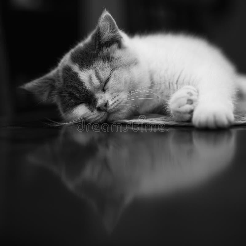 Kitten Cat Nap och reflexion fotografering för bildbyråer