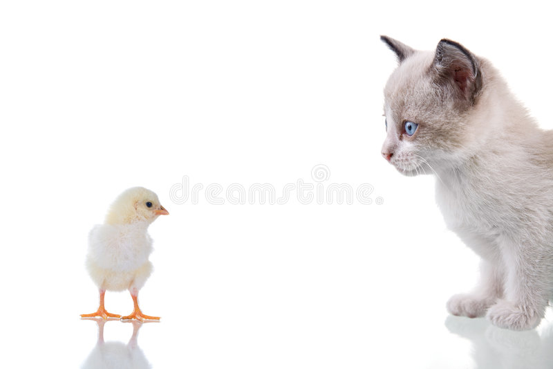 Kitten And Chick Stock Photo