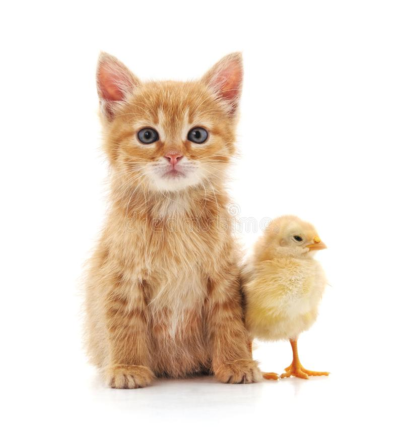 Kitten and chicken. royalty free stock photos