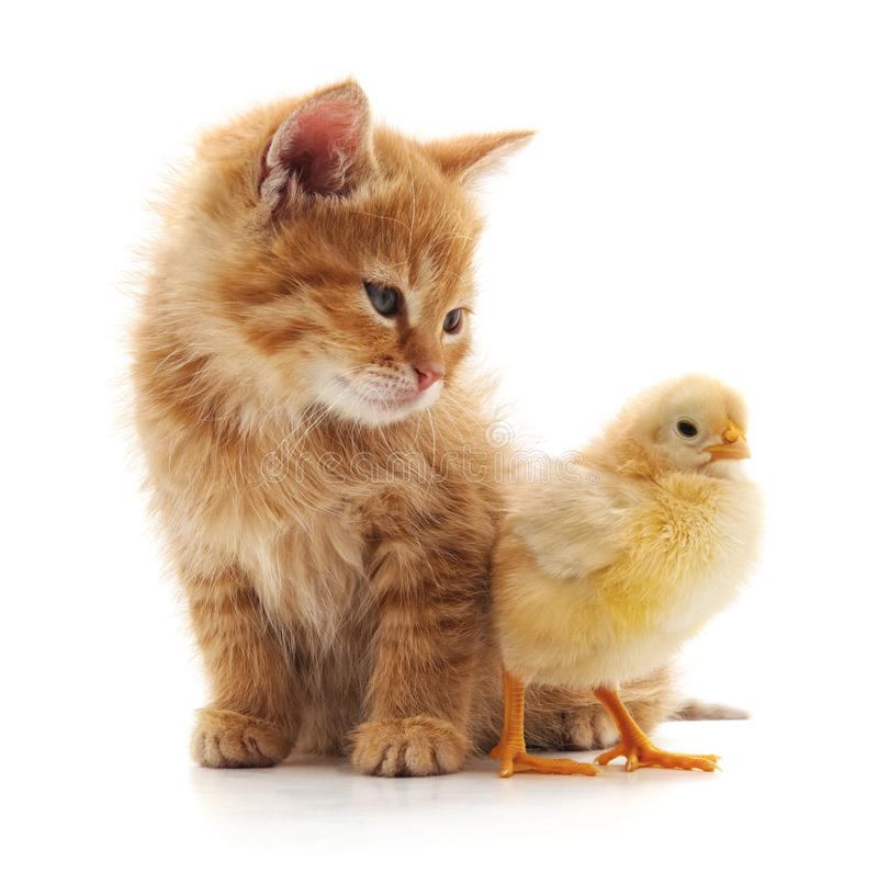 Kitten and chicken. royalty free stock photo
