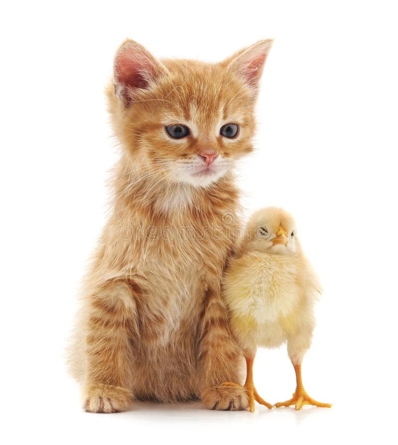 Kitten and chicken royalty free stock photography