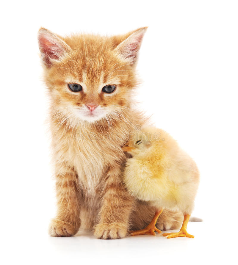 Kitten and chicken. stock images