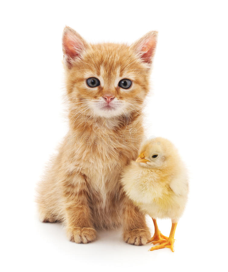 Kitten and chicken. stock photos