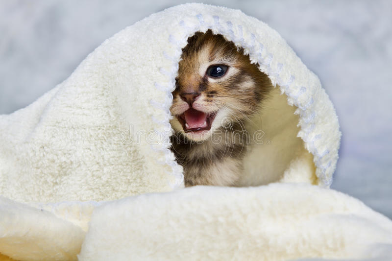 Kitten closed in towel. Warm sleepy small white stock images
