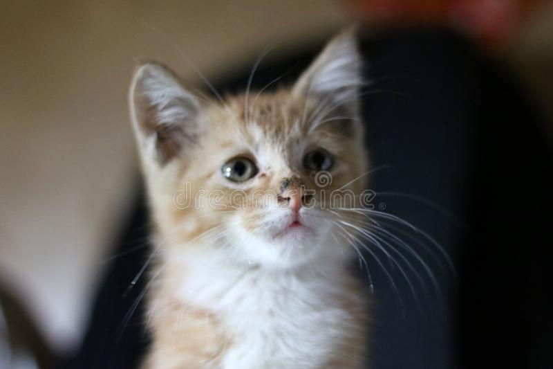 Kitten closeup royalty free stock photos