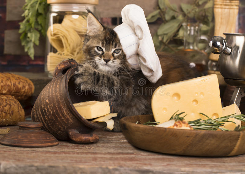 Kitten in a cook`s cap. Cat cook royalty free stock photography
