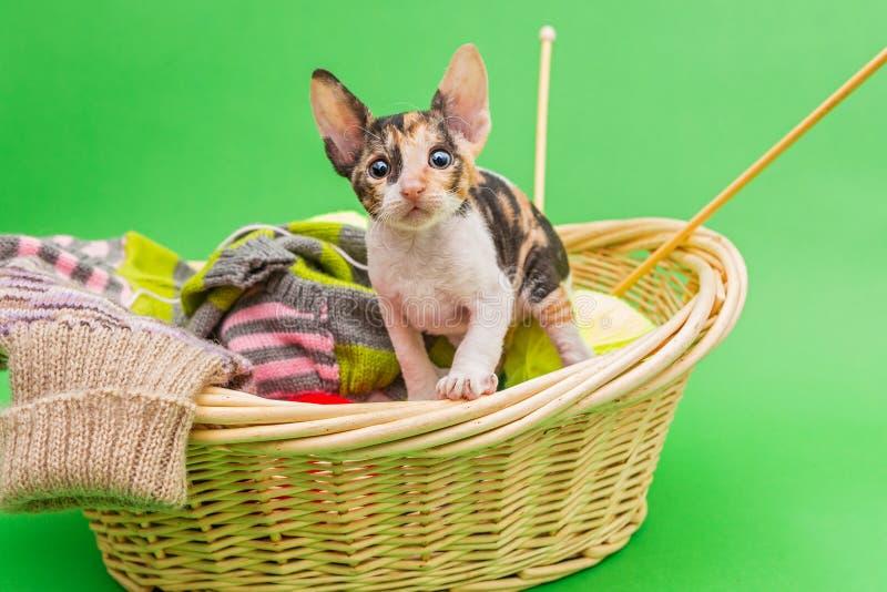 Kitten Cornish Rex nel canestro fotografia stock libera da diritti