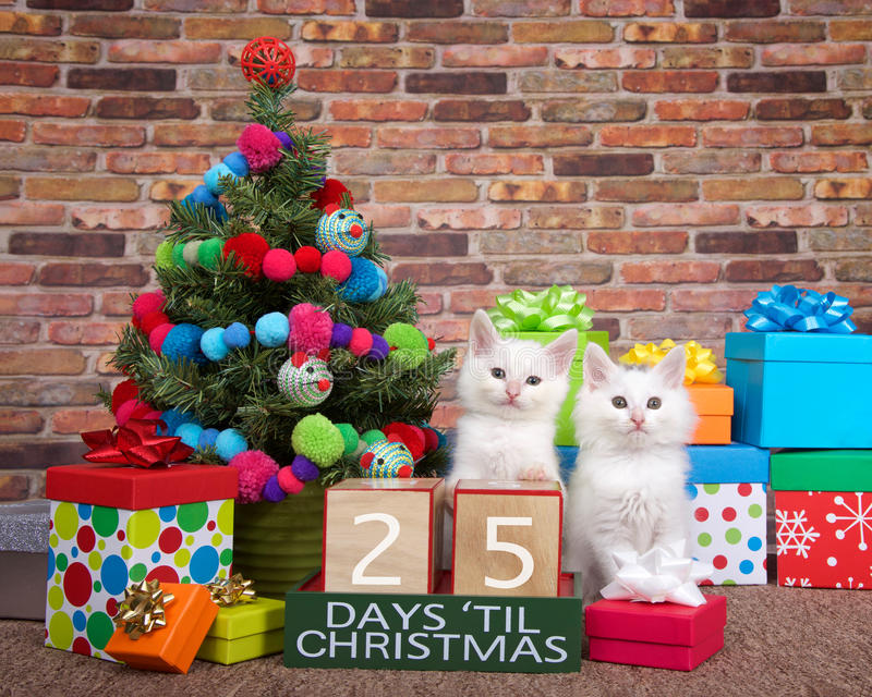 Kitten countdown to Christmas 25 Days. Two fluffy white kittens sitting on brown carpet next to small christmas tree with yarn ball and toy mice decorations stock photos