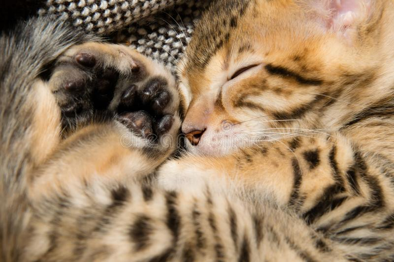 Kitten curled up in a ball and slept stock photos