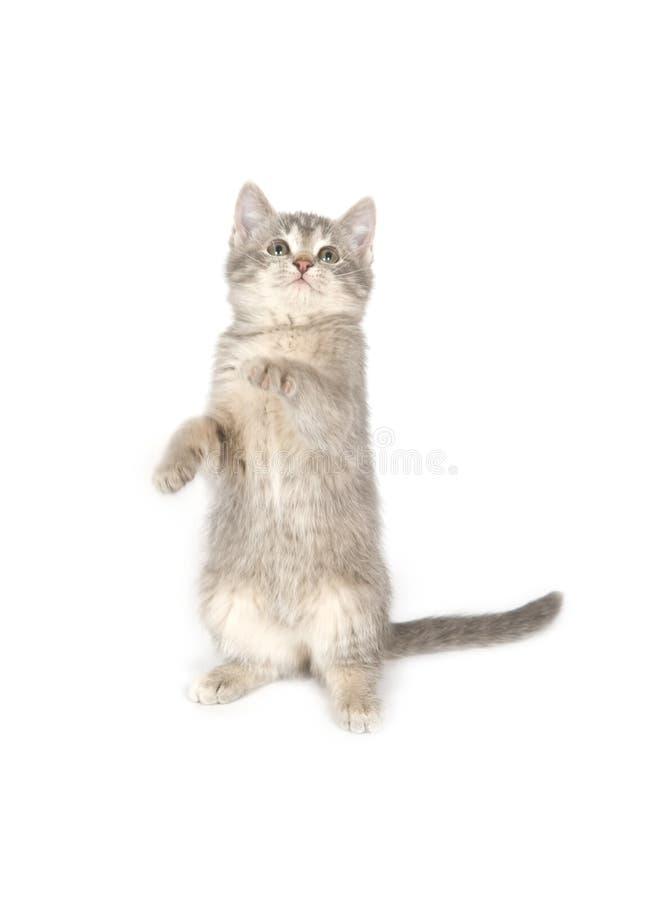 Kitten dancing stock images