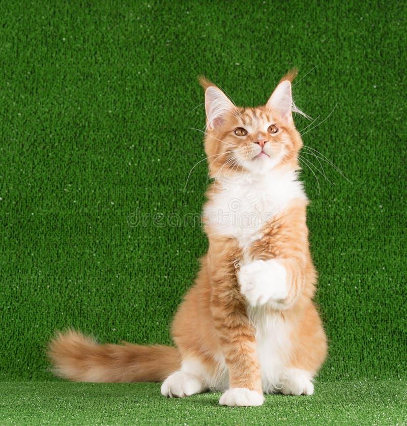 Kitten de Maine Coon photographie stock libre de droits