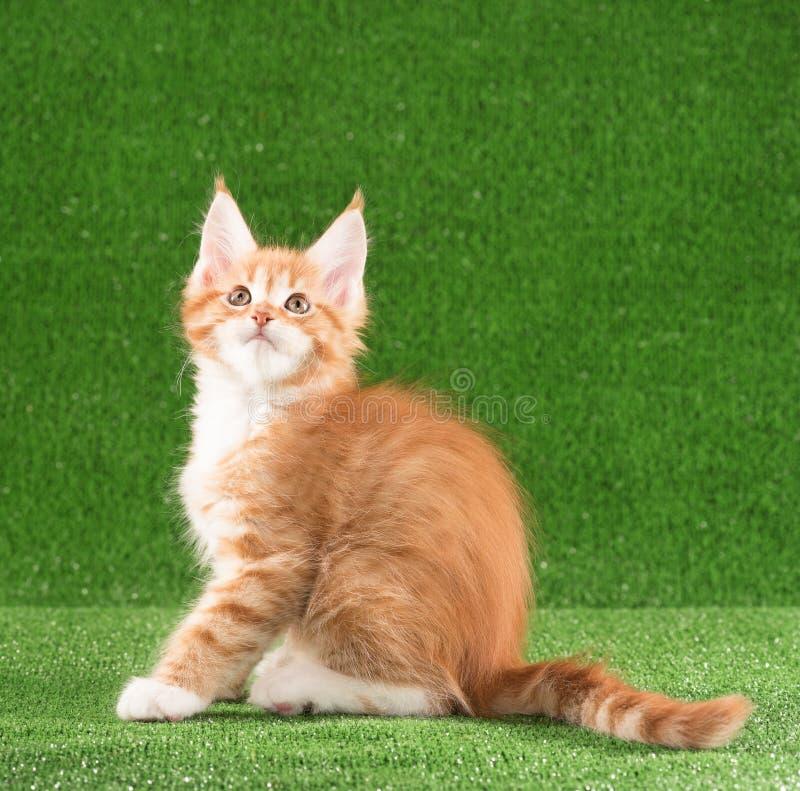 Kitten de Maine Coon image libre de droits
