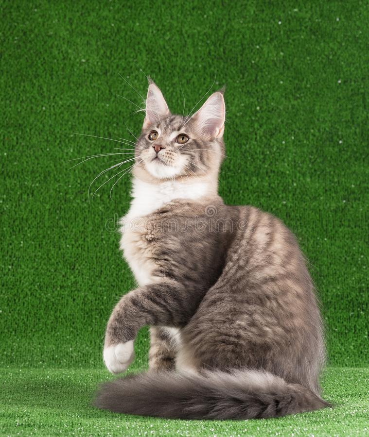Kitten de Maine Coon image stock