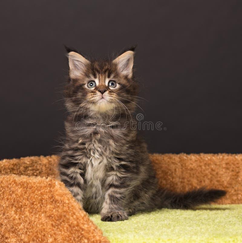 Kitten de Maine Coon photos stock