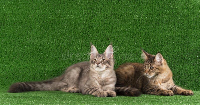 Kitten de Maine Coon images libres de droits