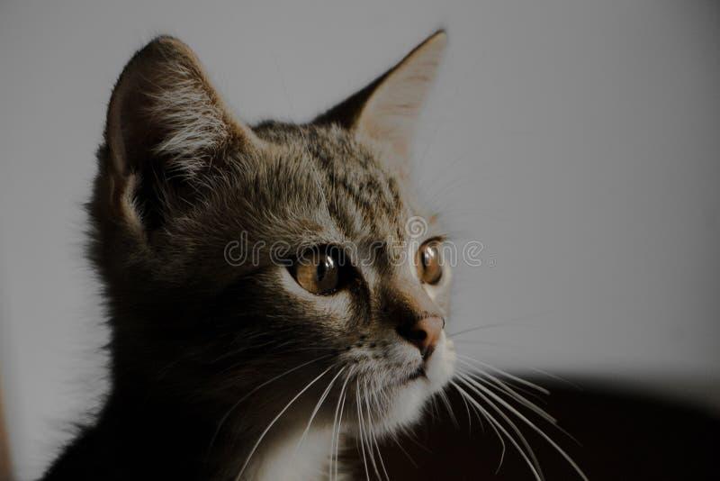 Kitten& x27 do close up; s enfrenta imagem de stock royalty free