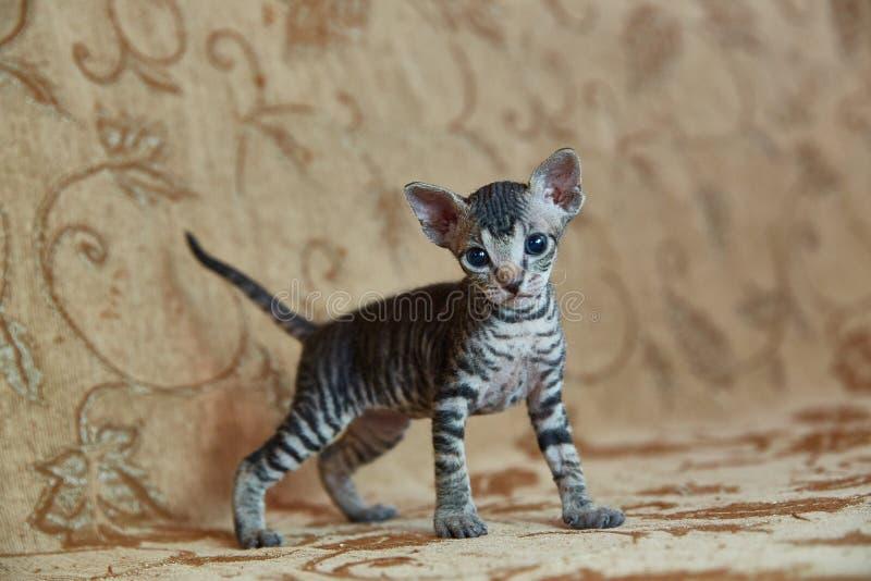 Kitten Don Sphynx regarde dans le cadre photos libres de droits