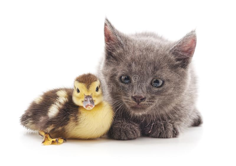 Kitten and duckling stock image