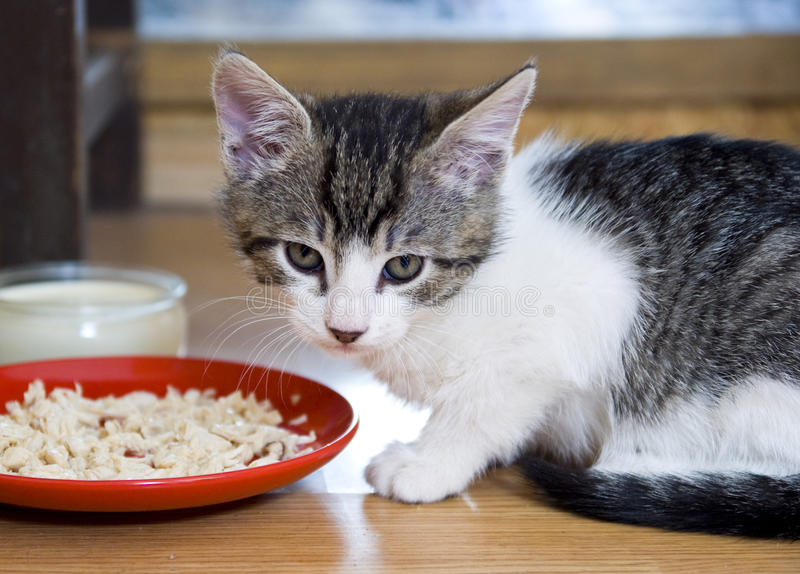 Kitten eating. Kitten with a plate of food and a bowl of milk royalty free stock image